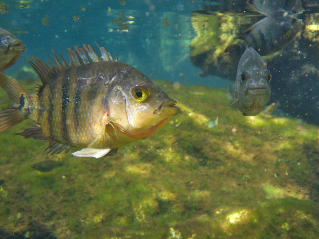 poissons cenote azul peninsule yucatan