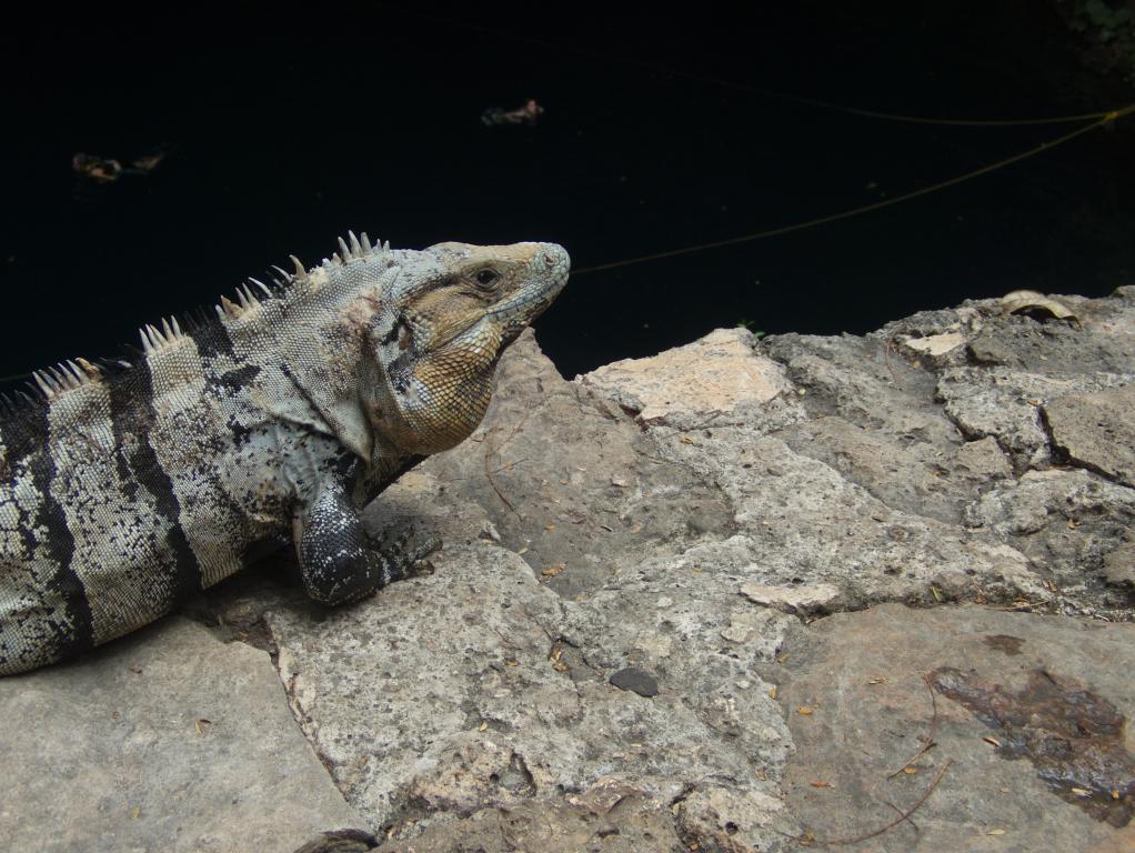 iguane cenote yucatan mexique