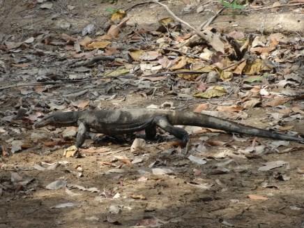 Koh Lanta - No se aprecia... pero este varano medía un par de metros!