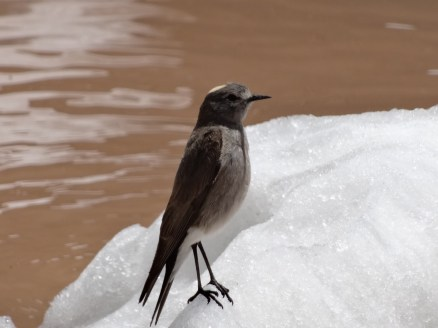 Oiseau des glaces
