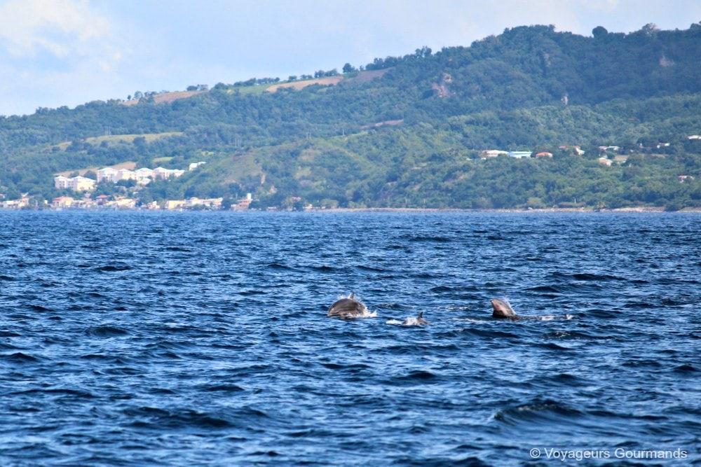 dauphins-en-martinique-6