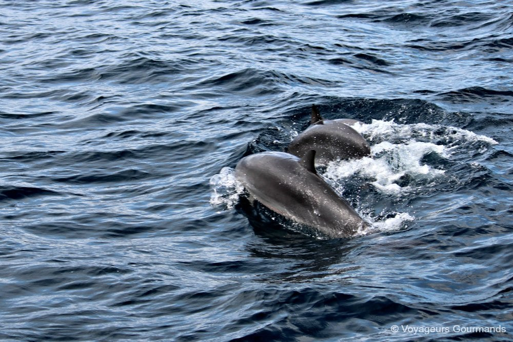 dauphins-en-martinique-8