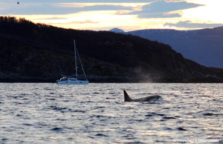 orques et baleines en norvege (12)