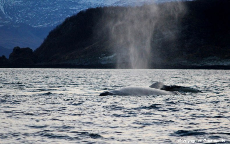 orques et baleines en norvege (29)