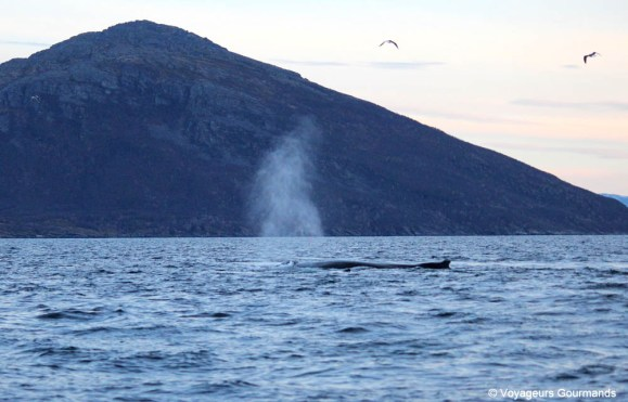 orques et baleines en norvege (34)