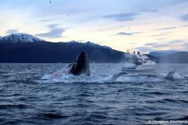 orques et baleines en norvege