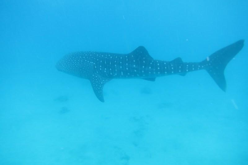requin baleine oslob philippines