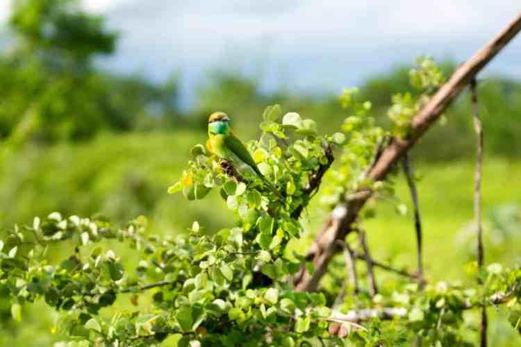 les beaux oiseaux de Udawalawe