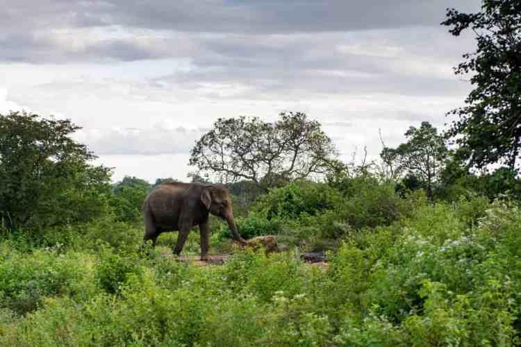 Un bébé éléphant à Udawalawe