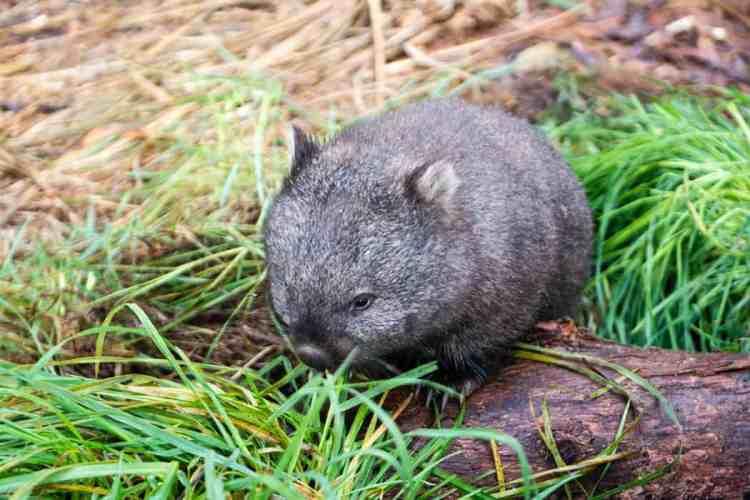 wombat animaux australie