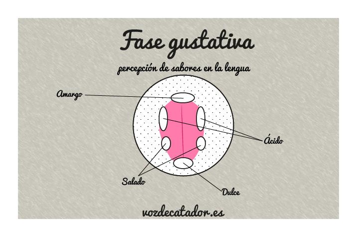 fase gustativa cata de vino vozdecatador.es