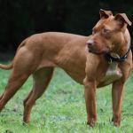 Perro Pitbull da muerte a niño de 3 años de edad en Pinal de Amoles