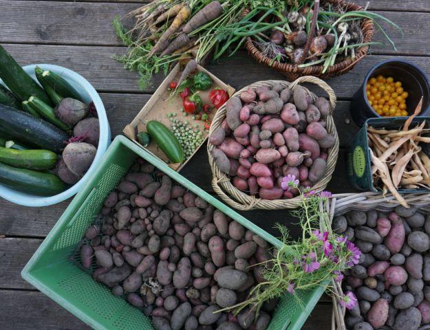 vorletzte Ernte von Kartoffeln, Mohrrüben, Paprika, Rote Beete, Feuerbohnen im September 2016