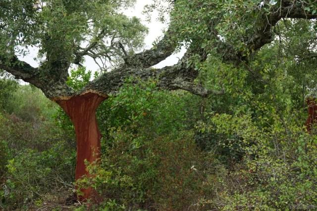Korkeiche im Hochplateau Giara di Gesturi auf Sardinien