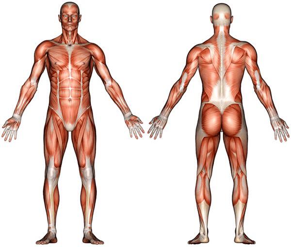 Afbeeldingsresultaat voor hoeveel spieren heeft een mens