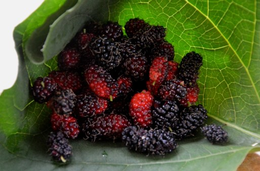 Fall harvests: mulberry