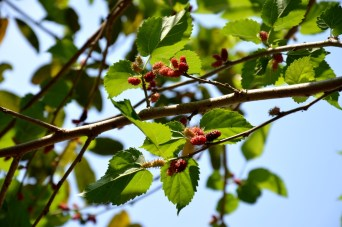 mulberry ripening