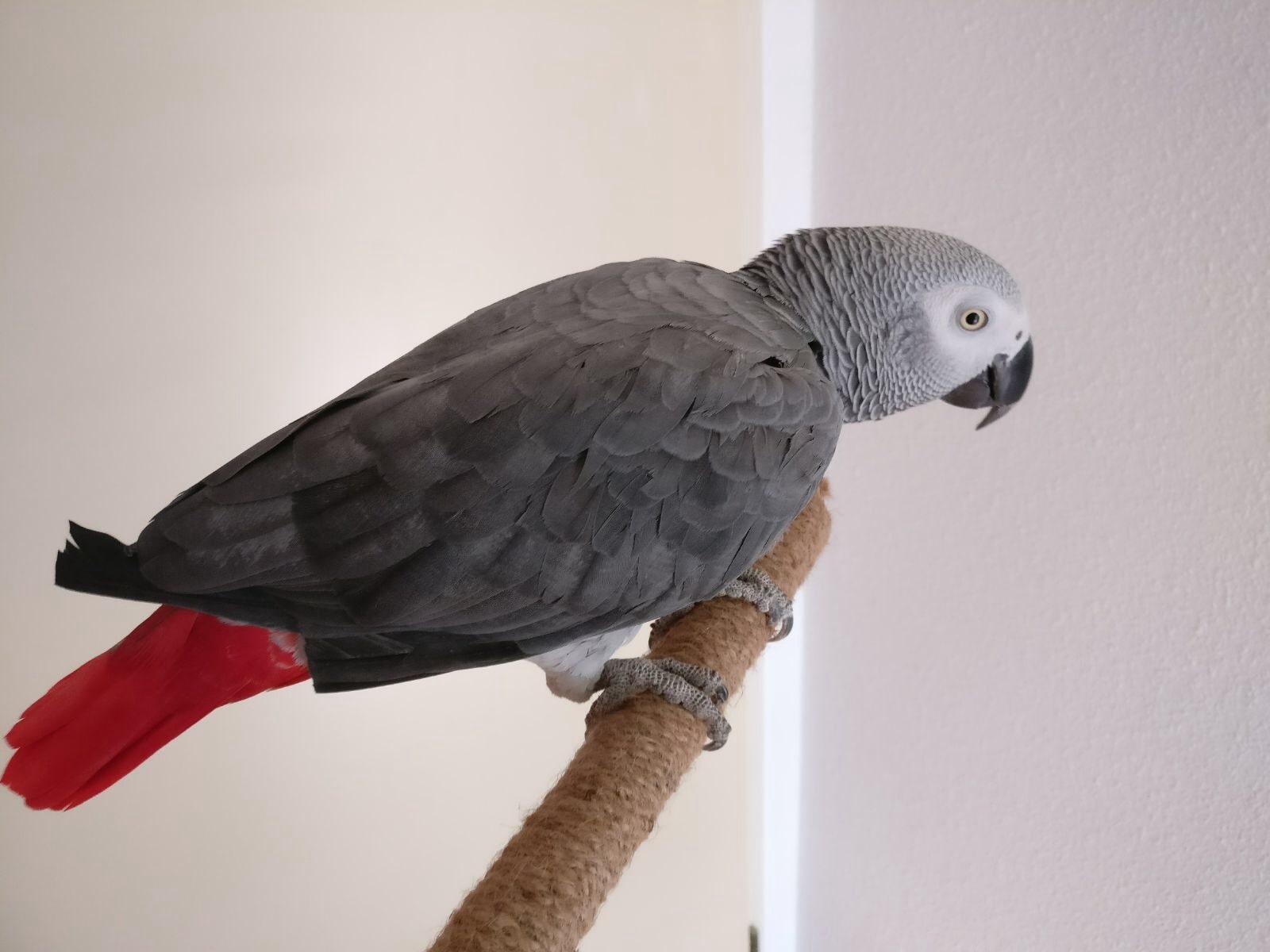 Kokos, grijze roodstaartpapegaai