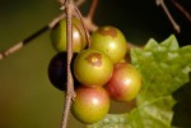 Muscadine-Grapes-on-Vine-e1429531822736