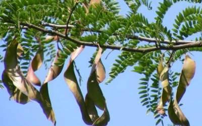 Дървото рожков ражда своята шушулка