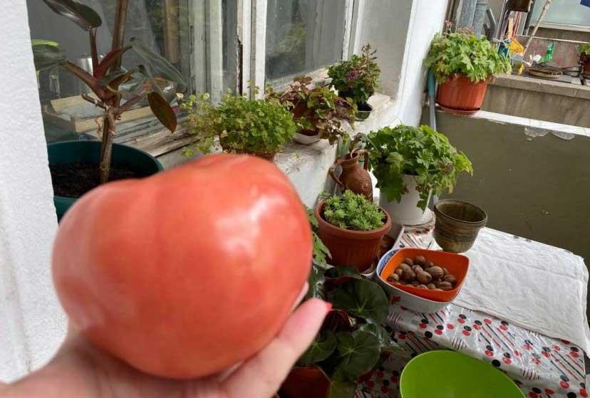 Гигантски български домат