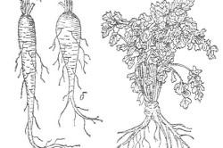 hogyan kell a petrezselymet a prosztatitisből