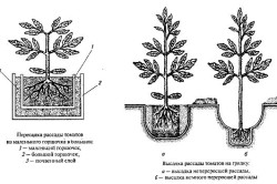 Помидоры черри цветы. Как выбрать и как вырастить помидоры черри