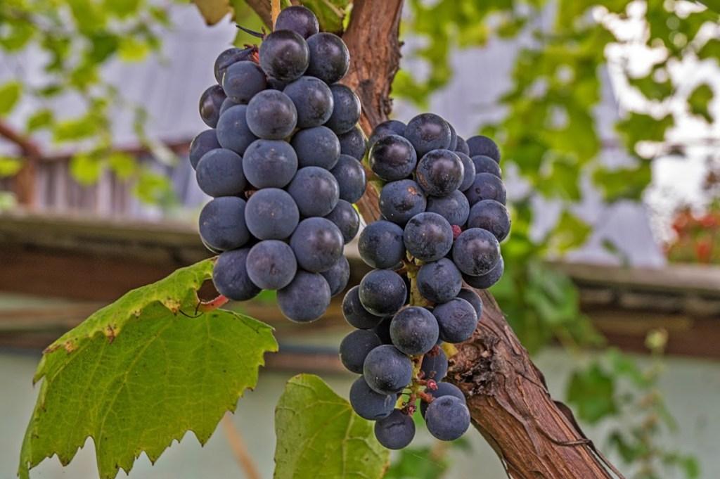 Виноград - изобелла