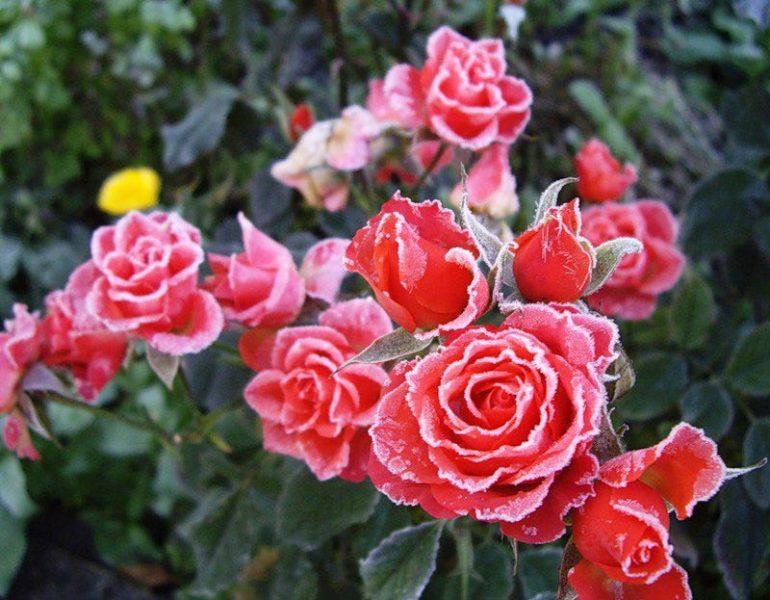 Как укрыть розу на зиму