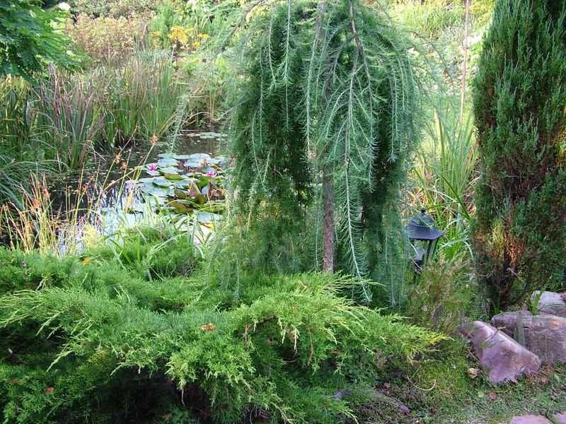 Хвойные растения: можжевельник и туя для сада: можжевельник западный «Хорстманн»