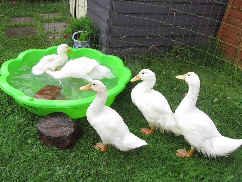 Содержание уток в домашних условиях и особенности ухода за птицами