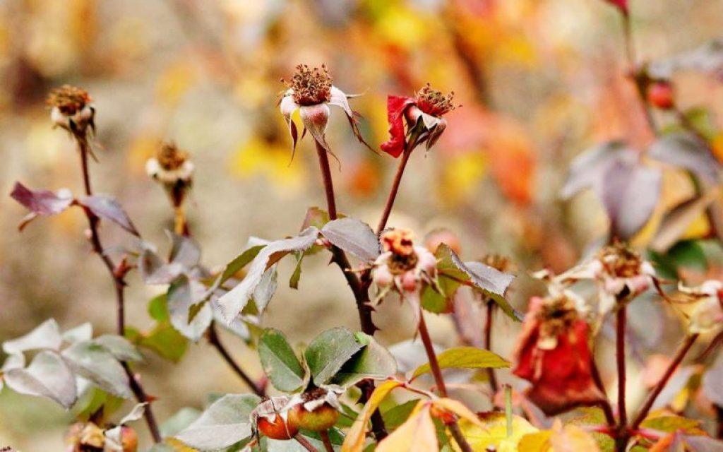 Посадка роз осенью