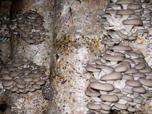 Варианты выращивания грибов в домашних условиях