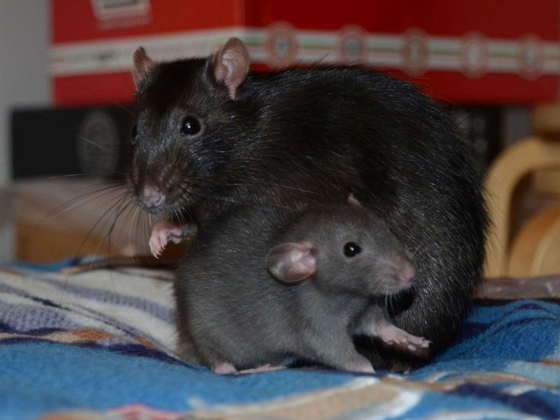 Как избавиться от крыс народными средствами дома