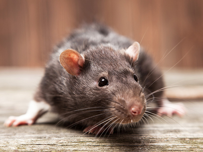 Как избавиться от крыс своими силами