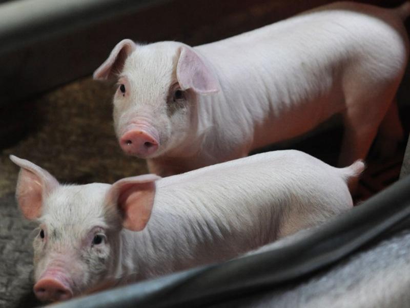 Крупная белая порода свиней и как кормить мясную породу