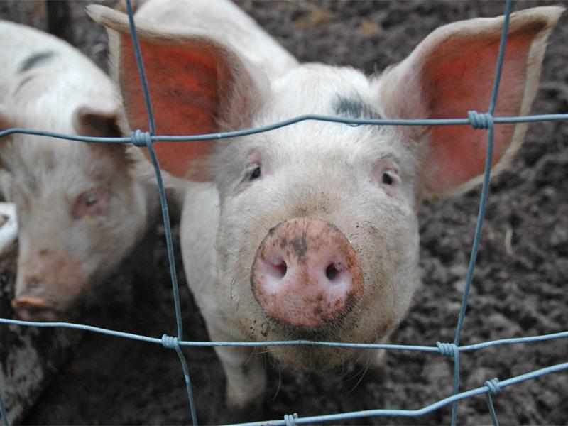 Беконное свиноводство и особенности разведения