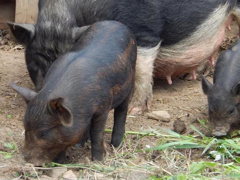 Кармалы – порода свиней и особенности разведения