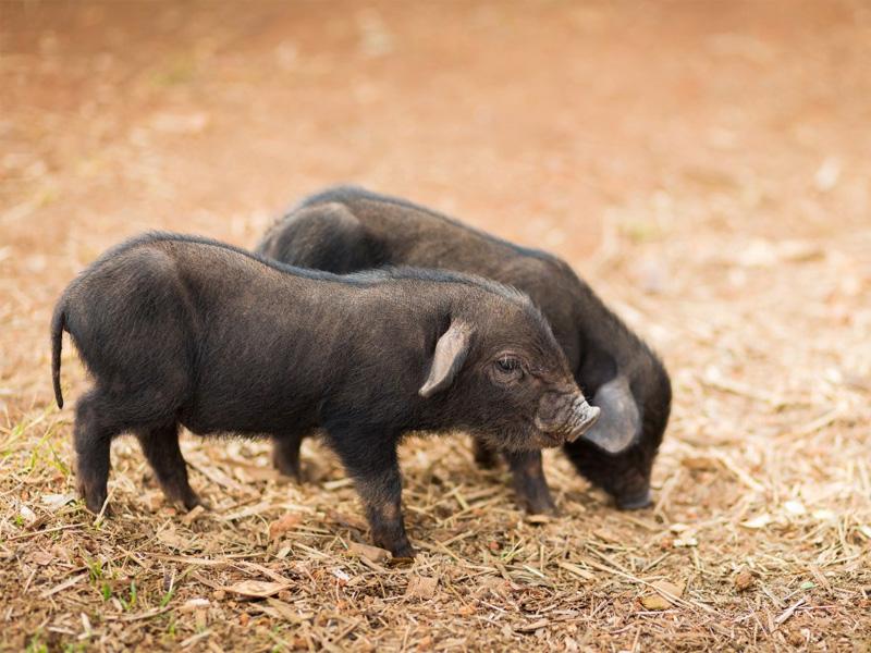Кармалы – порода свиней, характеристика и особенности