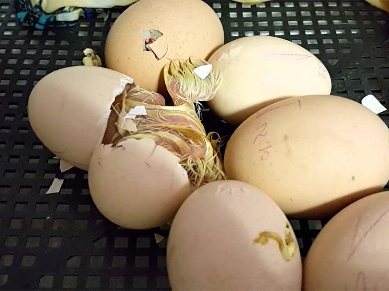 Овоскопирование куриных яиц перед вылеплением