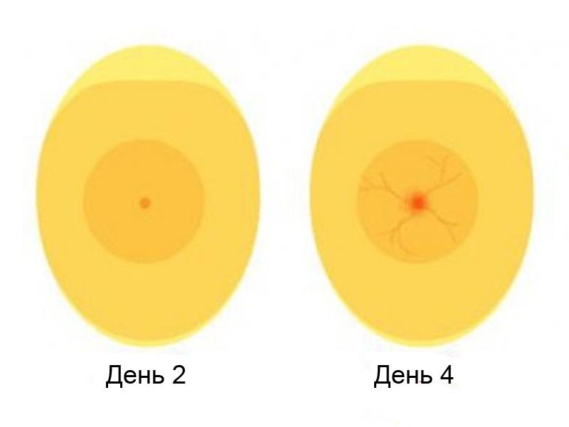 Овоскопирование утиных яиц и эмбрион на 2-4 день инкубации