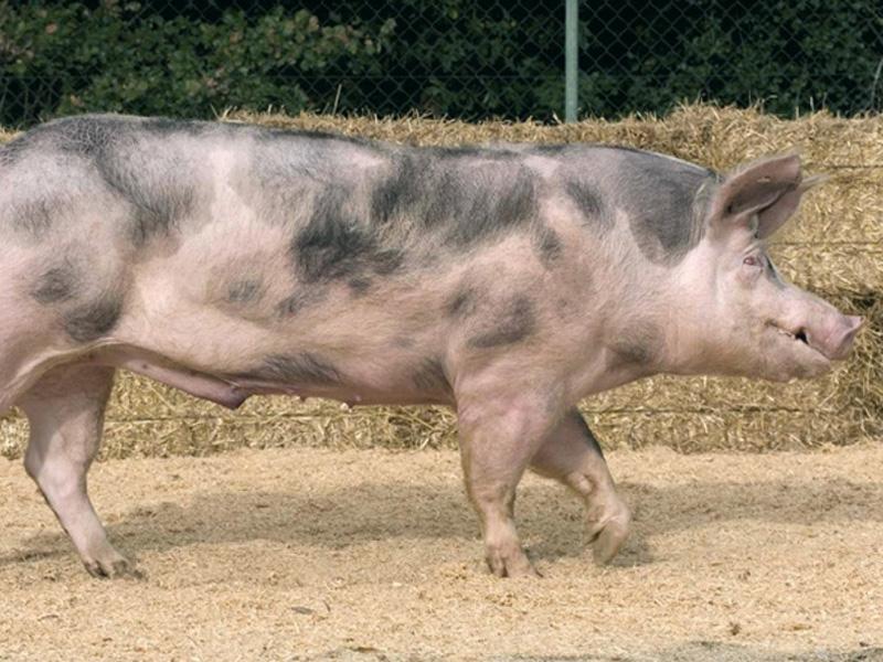 Порода свиней Пьетрен и их характеристика