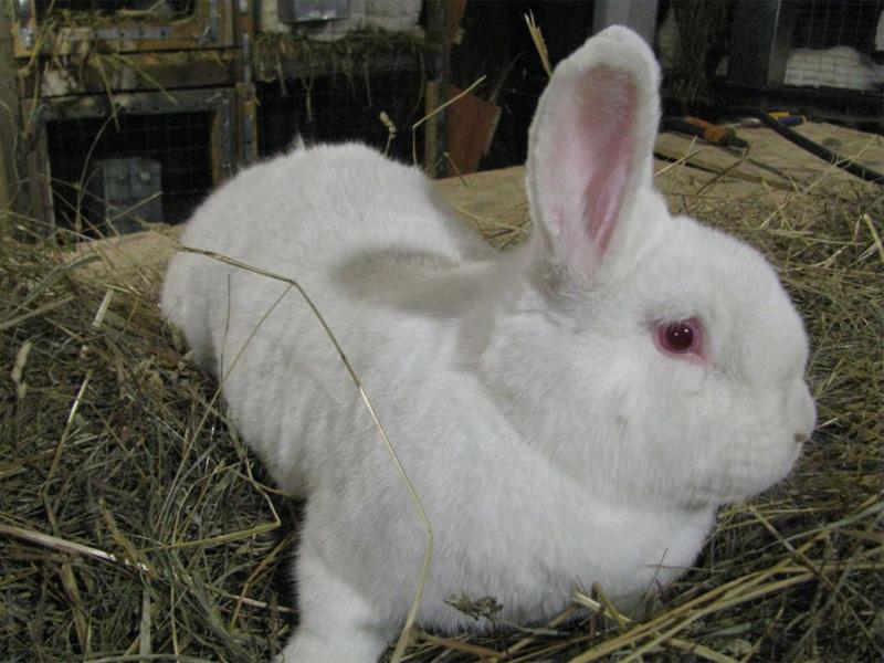 Породы кроликов белой расцветки