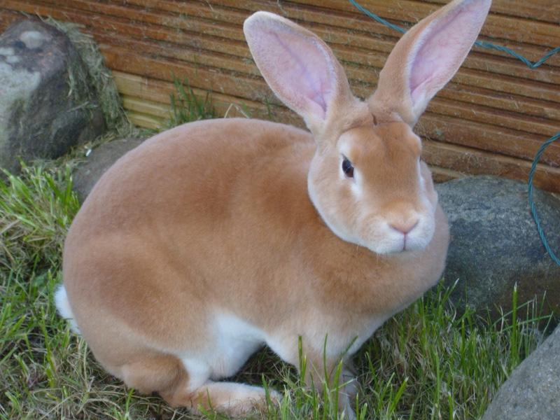 Породы кроликов типа Рекс