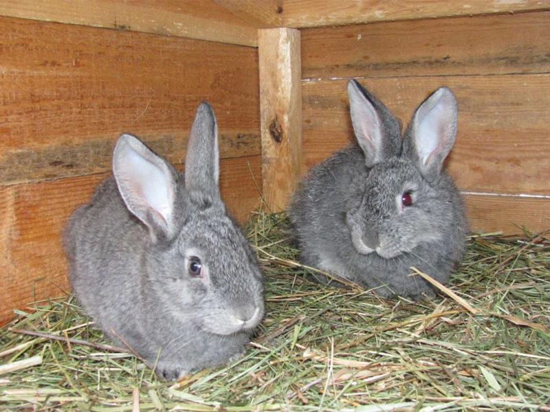 Породы кроликов типа шиншилла