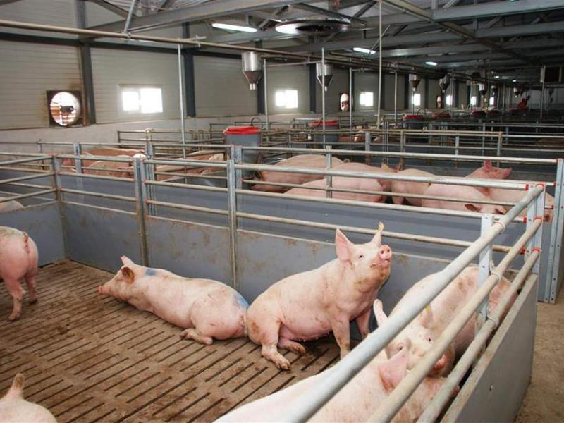 Выгодно ли держать свиней на продажу мяса как бизнес