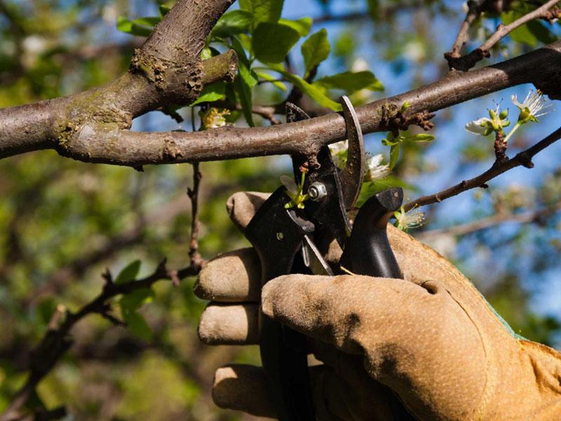 Обрезка сухих веток вишни