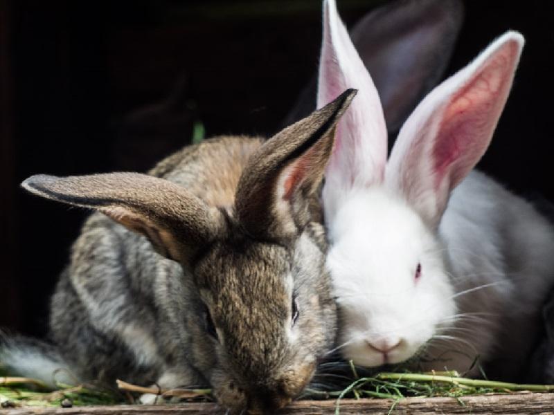 Прививки кроликам – какие и когда делать?