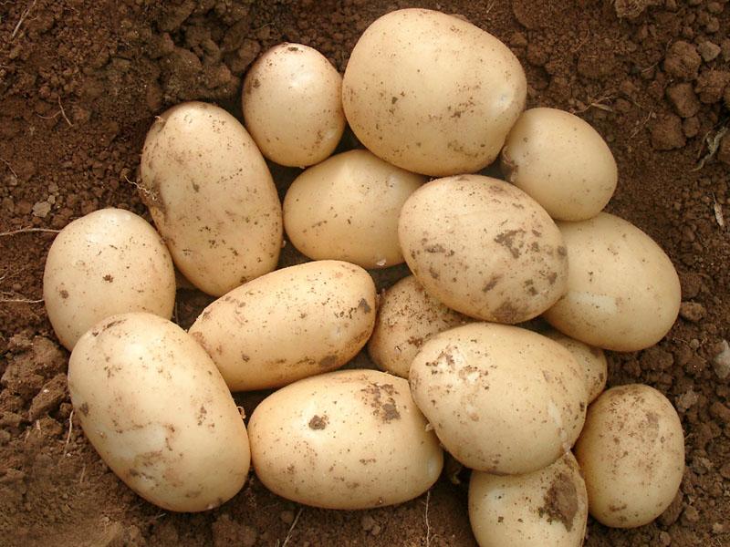 Ультраранние сорта картофеля