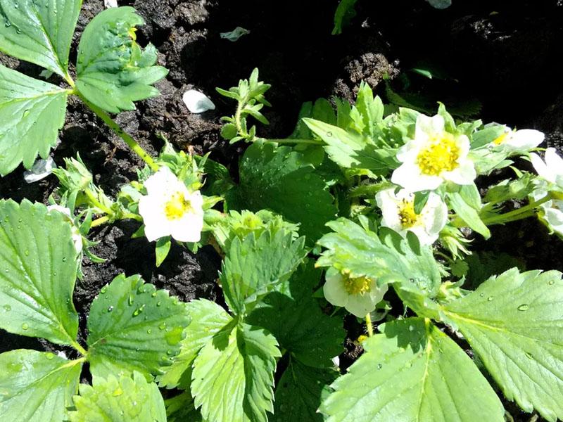 Чем подкормить клубнику во время цветения